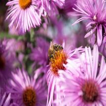 Bee on Pollinator Aster Plant