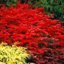Fall Color Plants