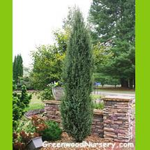 Irish Juniper Evergreen