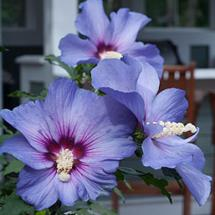 Azurri Blue Satin Rose of Sharon