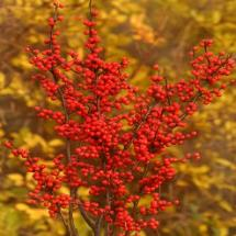 Ilex Berry Heavy Winterberry