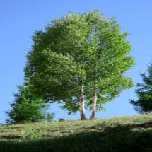 River Birch Trees