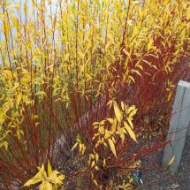Flame Willow