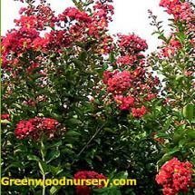 Country Red Crape Myrtles