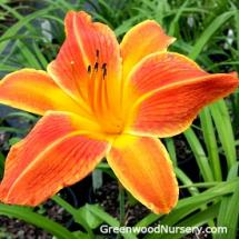 Orange Vols Daylily Hemerocallis