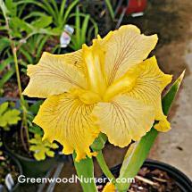 Fortune Finder Iris