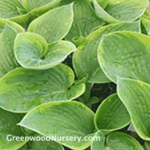 Hosta Francis Williams