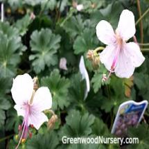 Geranium Biokovo Cranesbill