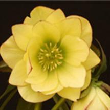 Hellebore Golden Lotus Winter Jewels