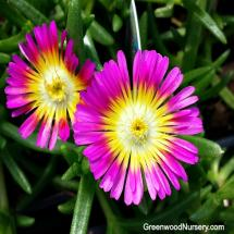 Delosperma Hot Pink Wonder