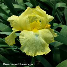 Iris 'Harvest of Memories' Yellow