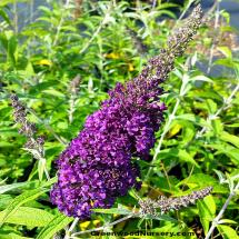 Buddleia davidii Buzz™ Midnight