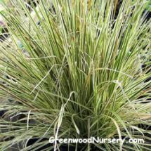 Miscanthus 'Morning Light' Grass