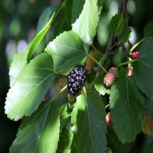 Mulberry Dwarf Everbearing