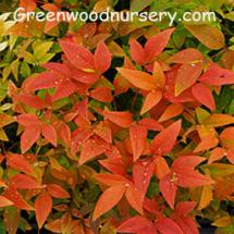 Nandina Gulf Stream Shrubs