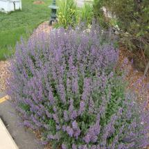 Walkers Low Nepeta Catmint