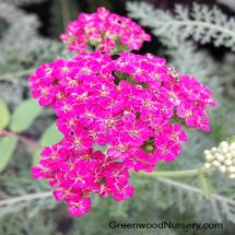 New Vintage Rose Yarrow