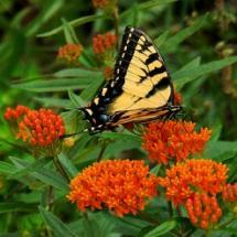 Orange Butterfly Weed
