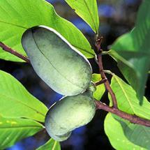 Pawpaw Tree Asimina triloba