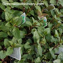 Blue Balsam Peppermint