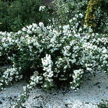 Philadelphus 'Snowbelle' Mockorange
