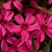Scarlet Flame Creeping Phlox