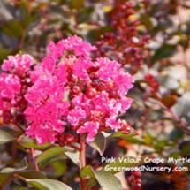Pink Velour Crape Myrtle