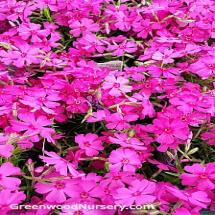 Red Creeping Phlox