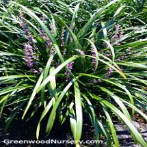 Evergreen Perennials