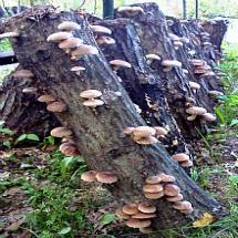 Shiitake Mushroom Log Kits