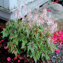 Tiarella Sugar and Spice