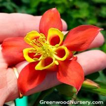Aquilegia canadensis | Wild Red Columbine
