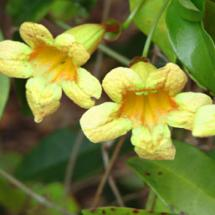 Yellow Trumpet Creeper