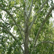 American Sycamore Trees