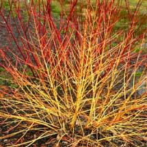 Arctic Sun Red Twig Dogwood