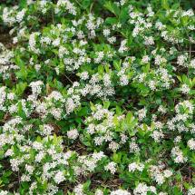 Ground Hug Dwarf Chokeberry