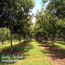 GSP Celestial Chestnut Tree