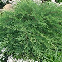 Celtic Pride Siberian Cypress