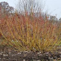 Arctic Fire Yellow Dogwood