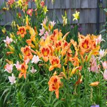 Kaleidoscope Day Lily Mix