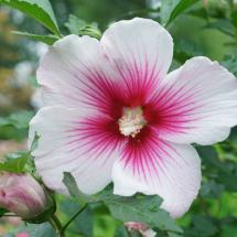 Paraplu Pink Ink Hibiscus