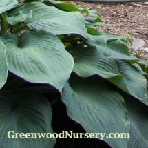 Hosta Sum and Substance