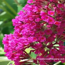 Hot Raspberry Buzz Buddelia