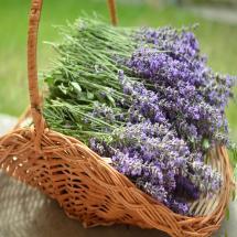 Vera Lavender