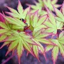 Japanese Coral Bark Maple