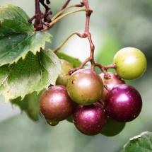 Muscadine Black Beauty