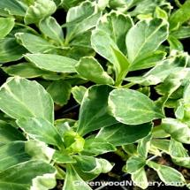Pachysandra Variegated