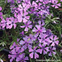 Purple Beauty Creeping Phlox