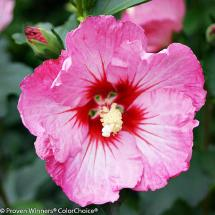 Ruffled Satin Rose of Sharon
