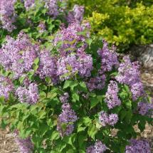 Syringa Scentara Pura | Fragrant Lilac